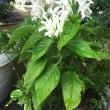 ジャスティシアの白い花今年も咲きました