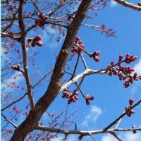 春待ち紅梅