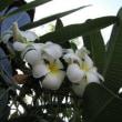 白い花 2