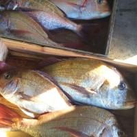 予約表 2月11日 チョロ釣り&天秤かご釣り狙いはもちろん真鯛