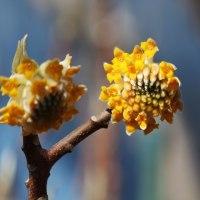 黄色いミツマタ