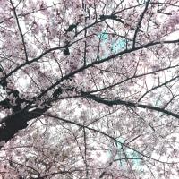 お花見はされましたか?ヽ(^。^)ノ