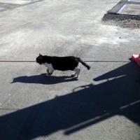 ボスの散歩 un chef du chat