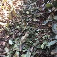 茶園に肥料