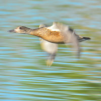 コガモ飛翔
