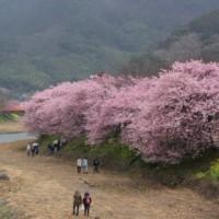 伊豆・河津町の河津桜