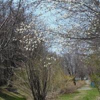 北国の春・・・