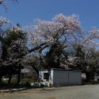 舟島小学校の桜古木満開