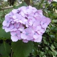 紫陽花とよねの死