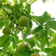 桃の仕上げ摘果 開始