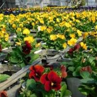 明日は花祭りです!! & 今夜は鴻巣の品評会へ