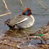栖吉川ウォーキングで春近し(1)~水鳥たち