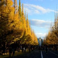 金色の銀杏並木