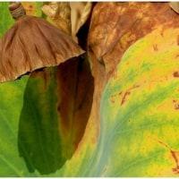 秋・ハスの実と葉もよう。  (長居植物園・大阪市)16・10月26日