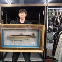 猪苗代湖今シーズン最大サイズの日光岩魚68cm・・・剥製完成!!