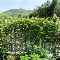 モッコウバラを園芸支柱で