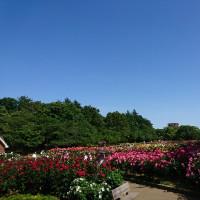 与野公園の薔薇