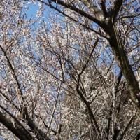 延岡・那智の滝 如意輪寺 ~ 2017年2月21日_梅のお花見