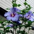 木槿(むくげ)という花