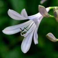 アガパンサスが咲き始めていました