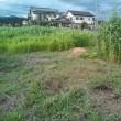 一部では草丈3mのソルゴーも