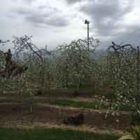 りんごの白い花