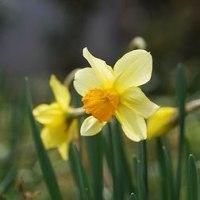 5種類目、6種類目の水仙の花が咲きました