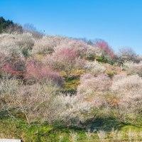津山神代梅の里公園「梅まつり」