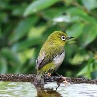 水場の小鳥たち!