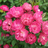 イングリシュガーデンのバラの花(2016・10)