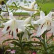 梅雨の時期の花たち