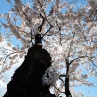 桜が判らないって言い訳