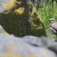 汚れた小鳥は、イナバヒタキだそうだ。