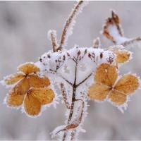 樹氷を最適に見れるのは微風晴天が。    (金剛山・大阪市)17・1.17