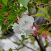 白妙桜・妹桜 開花してます4.23