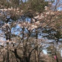 Sakura begins to bloom