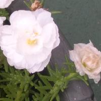 テラスの花  21