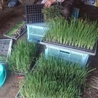 玉ねぎの定植作業
