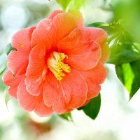 椿 (花 4306)