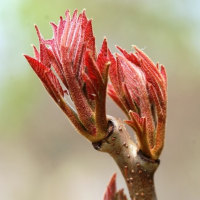 樹木ウォッチング冬から夏へ203ヤマウルシ1