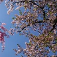 0413 縮景園 晴天に桜吹雪はじまり