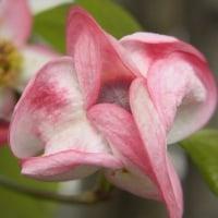 あっかんべーの花