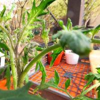 ミニトマトに花芽が出来た