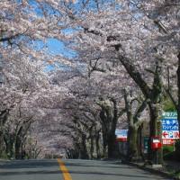 さくらの里~伊豆高原 <お花見散歩>