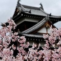 桜祭りスタート、開花は? 0326