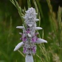 涼しい蓼科では、咲く花も子羊の毛を着込む。