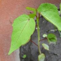 紅葉葵、生長の違い