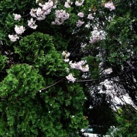 今日も雨・・・桜は・・・?!