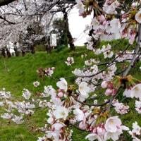2017年の桜見