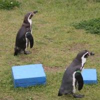 ペンギン散歩今昔・越前松島1